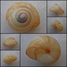 ABB04 - Asperitas bimaensis cochlostyloides 38.91mm