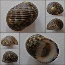 ACC22 - Nerita chamaeleon 23.69mm