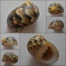 ACA04 - Nerita trifasciata 30.64mm
