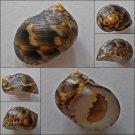 ACB09 - Nerita trifasciata 23.56mm