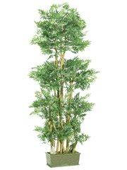 6' Ming Aralia Silk Tree