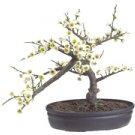 White Cherry Blossom Bonsai