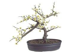 White Cherry Blossom Bonsai