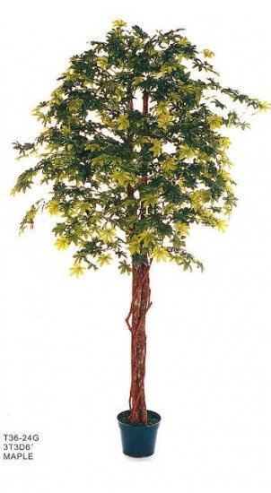 Green Maple Tree (6fts  tall)