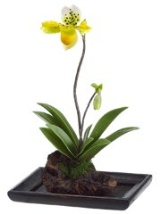 Lady's Slipper Orchid Plant in Wood Container