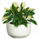 Spathyfillum w/White Vase Silk Plant