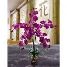 Phalaenopsis Liquid Illusion - Orchid