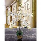 Phalaenopsis Liquid Illusion -  Cream