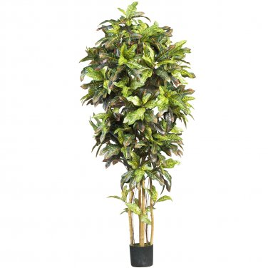 6' Croton Silk Tree