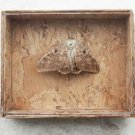Vintage Preserved Dried Large Butterfly in Wooden Box with Glass Home Decoration
