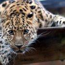 Jaguar Wild Cat Nature Animals 32x24 Print POSTER