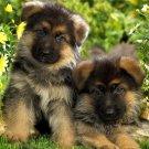 German Shepherd Puppies Dogs 24x18 Print POSTER