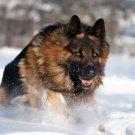 German Shepherd Dog Running Snow Animal 16x12 Print Poster