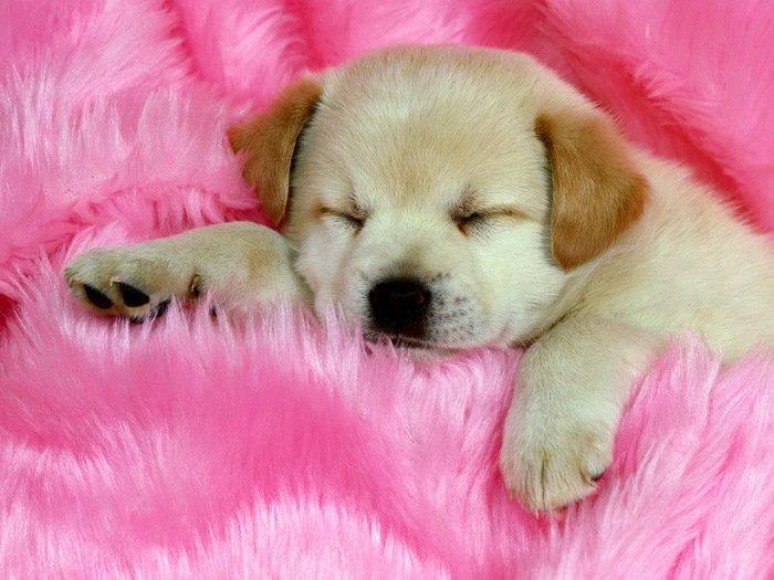 Cute Sleeping Puppy Small Dog Animal 32x24 Print Poster