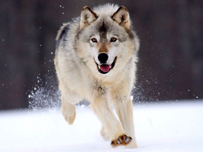 Running Snow Wolf Wild Dogs 32x24 Print POSTER