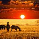 Savanna Zebras Sunset Landscape 32x24 Print POSTER
