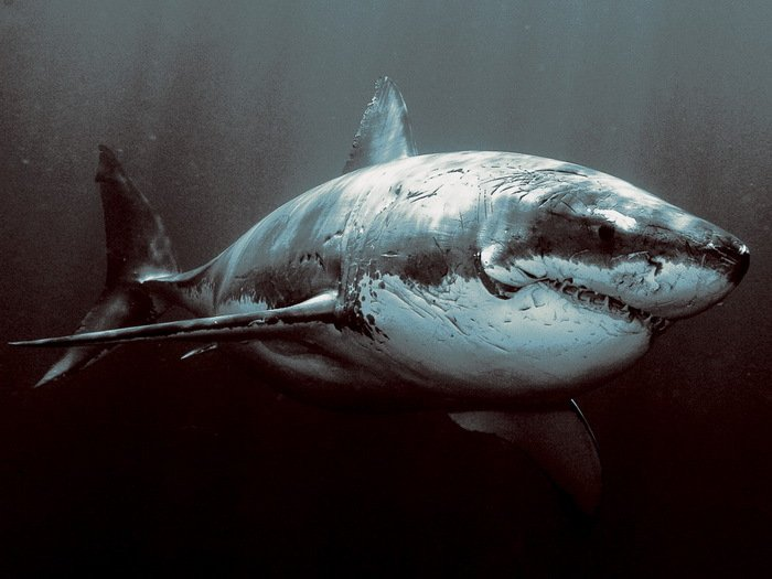 WARRIOR Shark Scars Animal 32x24 Print Poster