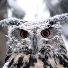 EAGLE OWL Snow Winter Animal 32x24 Print Poster