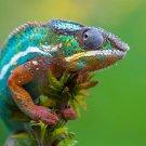 CHAMELEON Colorful Lizard Animal 32x24 Print Poster