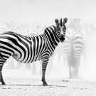 Zebra Animal National Geographic 32x24 Print Poster