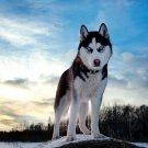 Husky Dog Alaska Nature Animals 16x12 Print POSTER
