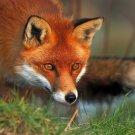 Hunting Fox Cunning Animal 16x12 Print Poster