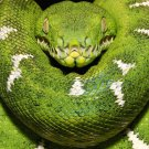 Python Green Snake Wild Nature Animal 16x12 Print Poster