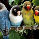 Beautiful Parrots Birds 16x12 Print Poster
