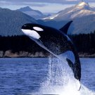Killer Whale Jump National Geographic 16x12 Print Poster