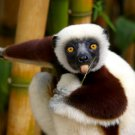 Lemur Animal National Geographic 16x12 Print Poster