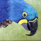 Hyacinth Macaw, ready to hang