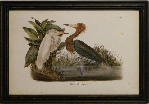 Audubon Reddish Egret
