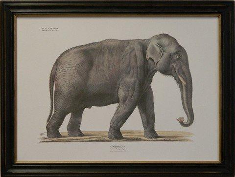 August Goldfuss Elephant