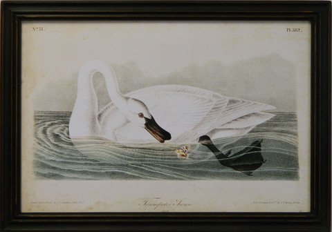 Audubon Trumpeter Swan I