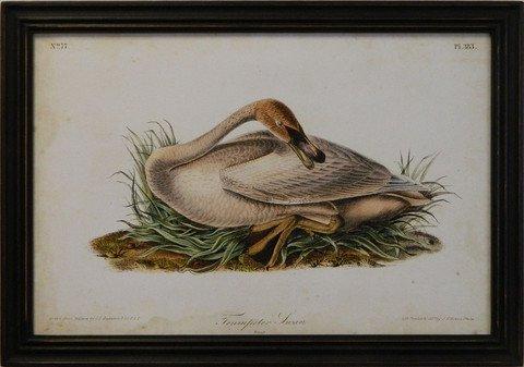 Audubon Trumpeter Swan II