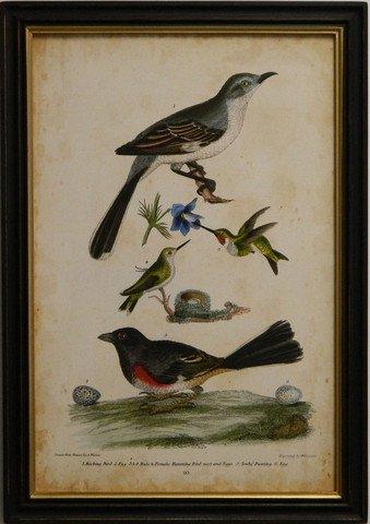 Wilson's Mocking Bird