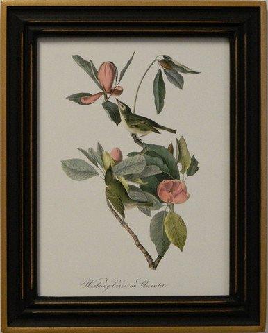 Audubon's Vireo