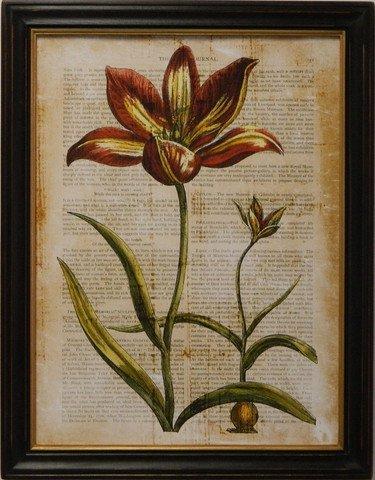 Antiquarian Tulip I