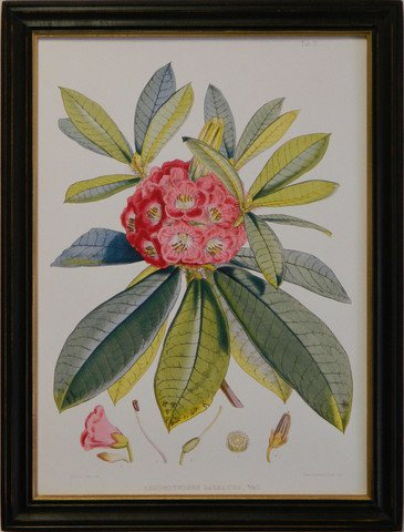 Rhododendron V