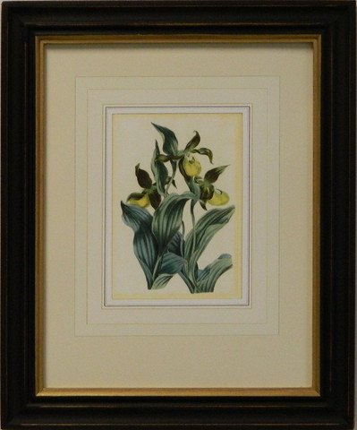 Vintage English Botanical Study Violet I