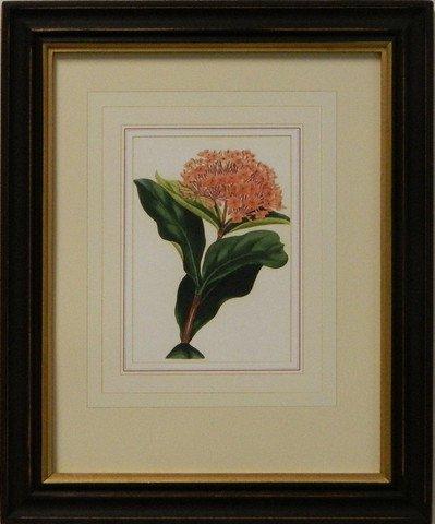 Vintage English Botanical Study Red IV