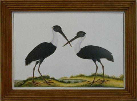 Cranes Birds of Malaca