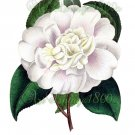 BEAUTIFUL FLOWER-014 Camellia pomponia vintage print