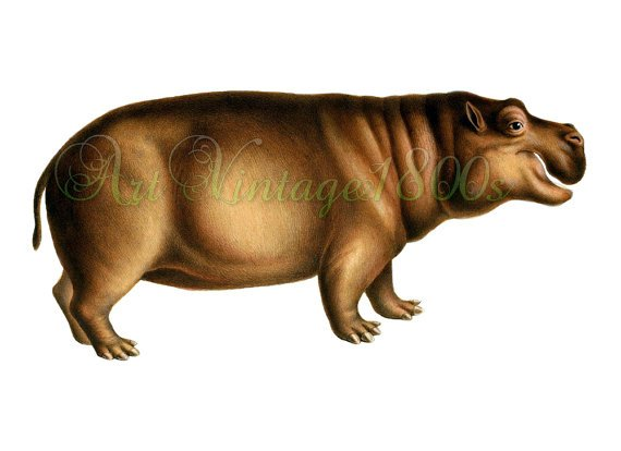 AMAZING MAMMAL-002 picture of Pygmy Hippopotamus vintage print