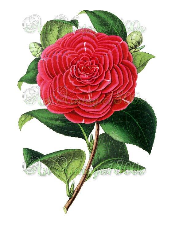 BEAUTIFUL FLOWER-013 Camellia vintage print