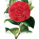 BEAUTIFUL FLOWER-013 Camellia vintage print