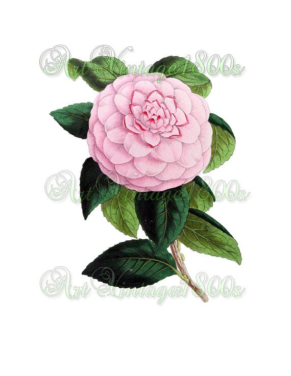 BEAUTIFUL FLOWER-004 Camellia vintage print