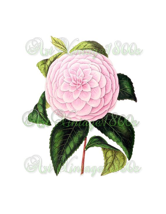BEAUTIFUL FLOWER-009 Camellia vintage print