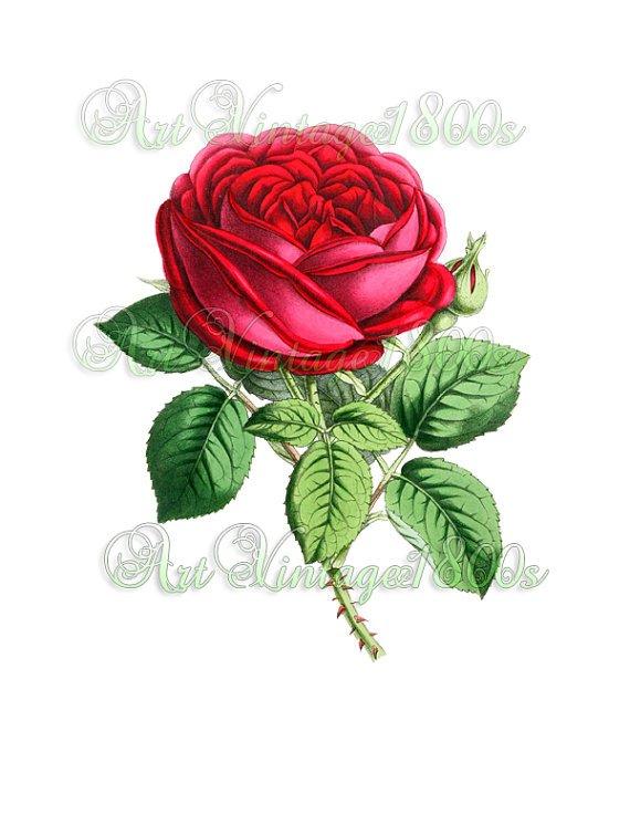 BEAUTIFUL FLOWER-002 Rose vintage print