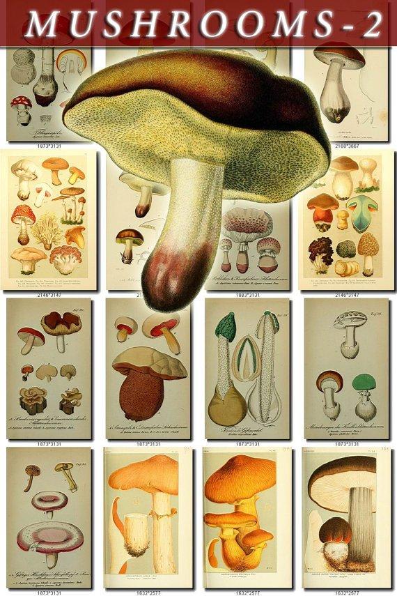 MUSHROOMS-2 344 vintage print